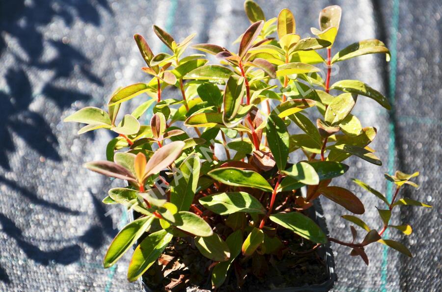 Třezalka kalíškatá 'Rose of Sharon' - Hypericum calycinum 'Rose of Sharon'