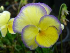 Violka růžkatá 'Etain' - Viola cornuta 'Etain'