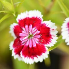 Hvozdík vousatý 'Barbarini' - Dianthus barbatus 'Barbarini'