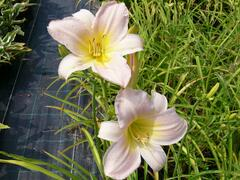 Denivka 'Catherine Woodbury' - Hemerocallis 'Catherine Woodbury'