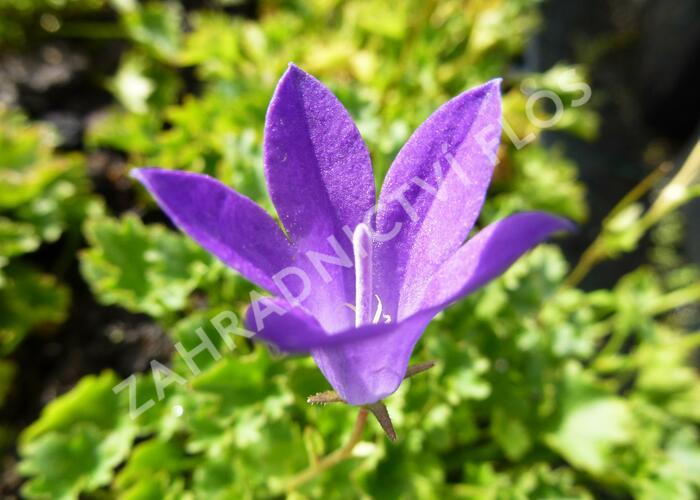 Zvonek dalmatský 'Birch Hybrid' - Campanula portenschlagiana 'Birch Hybrid'