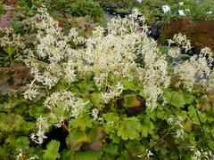 Lomikámen 'Maigrün' - Saxifraga cortusifolia var. fortunei 'Maigrün'