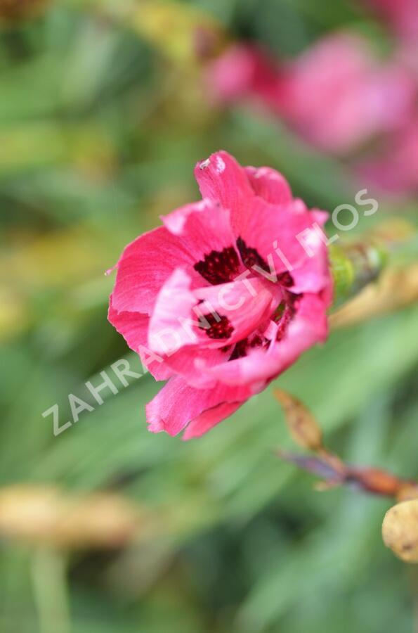 Hvozdík sivý 'Rotkäppchen' - Dianthus gratianopolitanus 'Rotkäppchen'