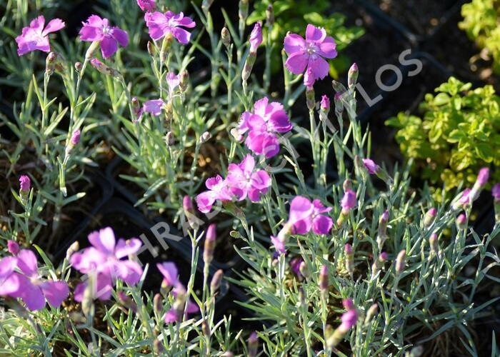 Hvozdík sivý 'Blauigel' - Dianthus gratianopolitanus 'Blauigel'