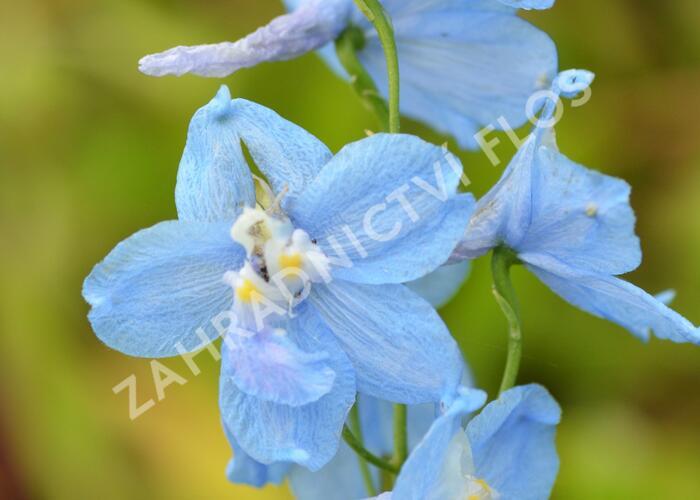 Ostrožka 'Moerheimii' - Delphinium belladonna 'Moerheimii'