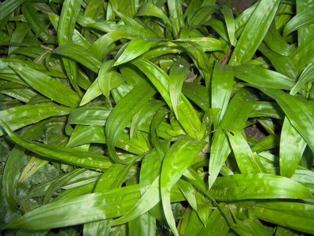 Ostřice jitrocelovitá - Carex plantaginea
