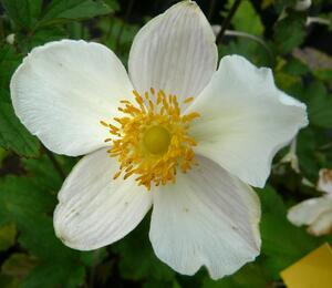 Sasanka  'Alba' - Anemone hupehensis forma 'Alba'
