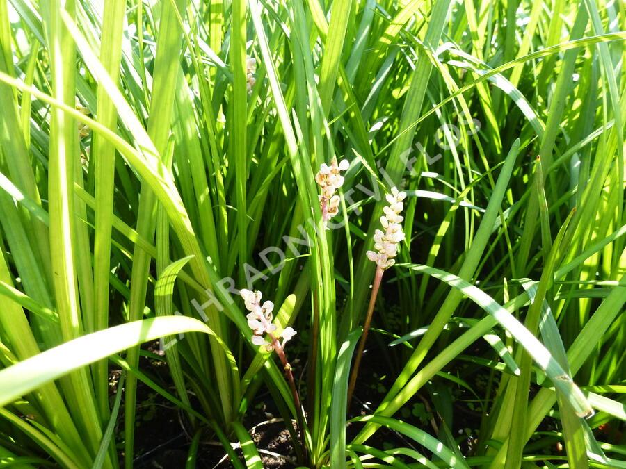 Liriope - Liriope spicata