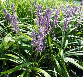 Liriope 'Royal Purple' - Liriope muscari 'Royal Purple'
