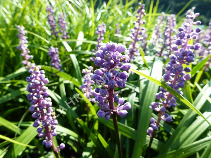 Liriope 'Royal Purple' - Liriope muscari 'Royal Purple'