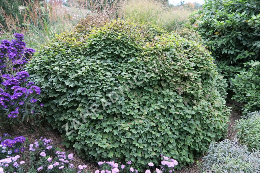 Kalina obecná 'Nanum' - Viburnum opulus 'Nanum'