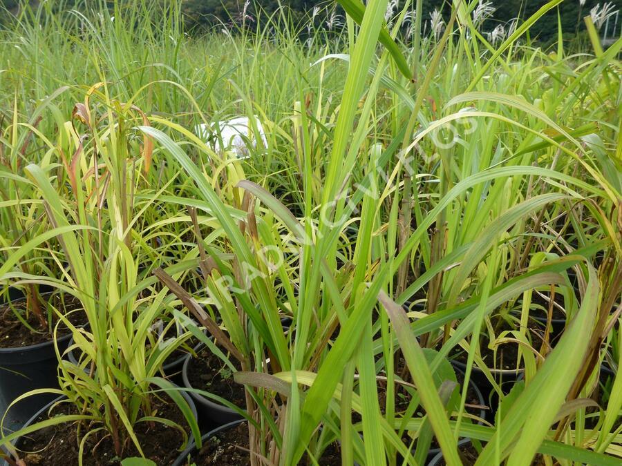 Ozdobnice čínská 'New Hybrids' - Miscanthus sinensis 'New Hybrids'