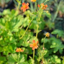 Kuklík šarlatový 'Orange Queen' - Geum coccineum 'Orange Queen'