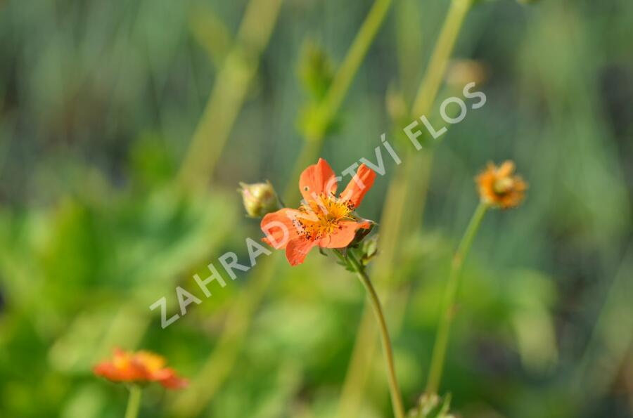 Kuklík šarlatový 'Orange Queen' - Geum coccineum 'Orange Queen'