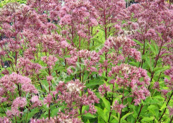 Sadec skvrnitý 'Purple Bush' - Eupatorium maculatum 'Purple Bush'