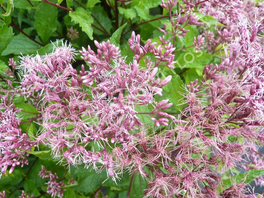 Sadec skvrnitý 'Purple Bush' - Eupatorium maculatum 'Purple Bush'