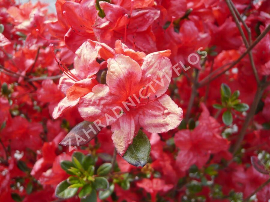Azalka japonská 'Stewartstonian' - Azalea japonica 'Stewartstonian'