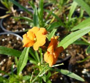 Trýzel 'Apricot Twist' - Erysimum linifolium 'Apricot Twist'