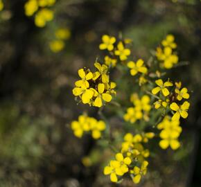 Trýzel 'Yellow Bird' - Erysimum hybridum 'Yellow Bird'