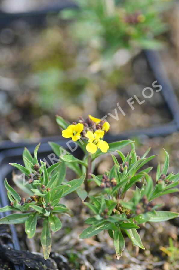 Trýzel 'Yellow Bird' - Erysimum hybridum 'Yellow Bird'