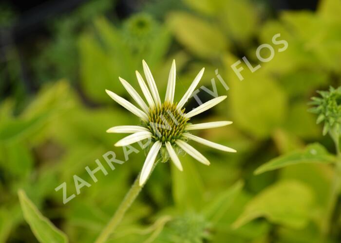 Třapatka nachová 'Lucky Star' - Echinacea purpurea 'Lucky Star'