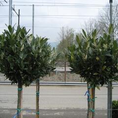 Bobkovišeň lékařská 'Otto Luyken' - ponpon - Prunus laurocerasus 'Otto Luyken' - ponpons