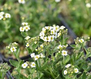 Chudina - Draba ramosissima