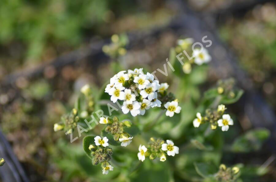 Chudina ramosissima - Draba ramosissima