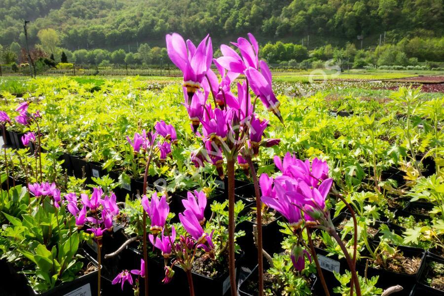Boží květ zahradní - Dodecatheon meadia
