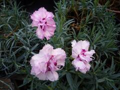 Hvozdík péřitý 'Grans Favorite' - Dianthus plumarius 'Grans Favorite'