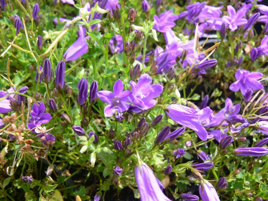 Zvonek lžičkolistý 'Blue Wonder' - Campanula cochleariifolia 'Blue Wonder'