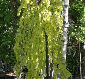 Buk lesní 'Aurea Pendula' - Fagus sylvatica 'Aurea Pendula'