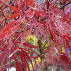 Javor dlanitolistý 'Stella Rose' - Acer palmatum 'Stella Rose'