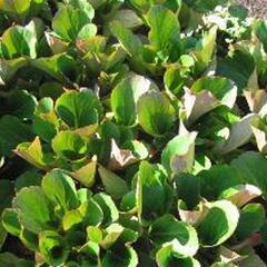 Bergénie srdčitá 'David' - Bergenia cordifolia 'David'