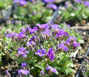Tařička kosníkovitá 'Audrey Early Blue Shades' - Aubrieta deltoides 'Audrey Early Blue Shades'