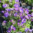 Tařička kosníkovitá 'Audrey Early Blue Shades' - Aubrieta deltoides 'Audrey Early Blue Shades'