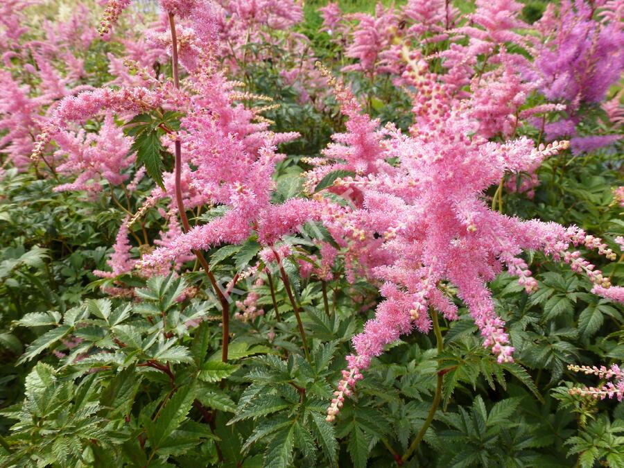 Čechrava Arendsova 'Pink' - Astilbe arendsii 'Pink'