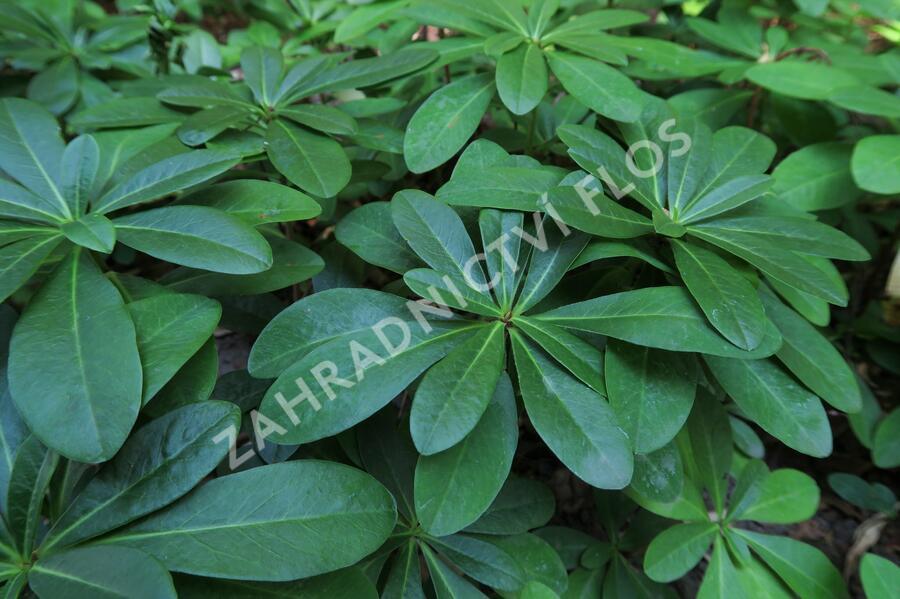 Pryšec mandloňovitý robbiae - Euphorbia amygdaloides ssp. robbiae