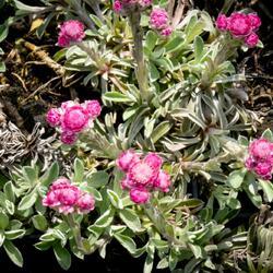 Kociánek dvoudomý 'Rotes Wunder' - Antennaria dioica 'Rotes Wunder'