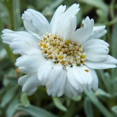 Řebříček nestařcolistý - Achillea ageratifolia