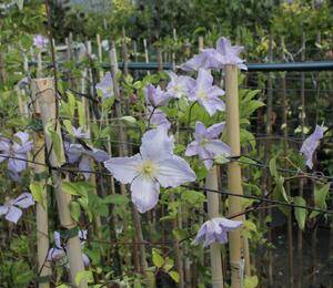 Plamének 'Blue Angel' - Clematis 'Blue Angel'