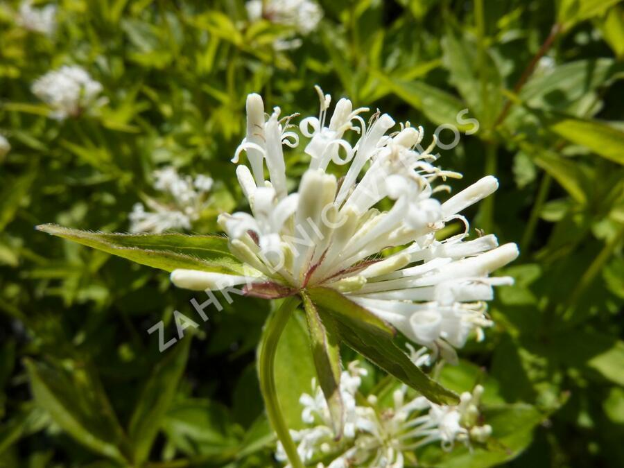 Mařinka - Asperula taurina