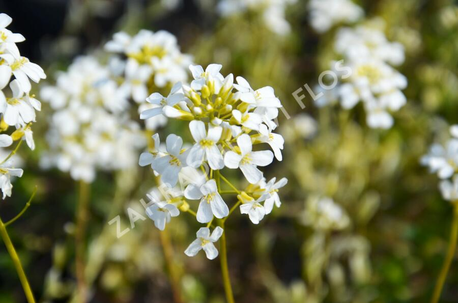Huseník výběžkatý 'Old Gold' - Arabis ferdinandi-coburgii 'Old Gold'