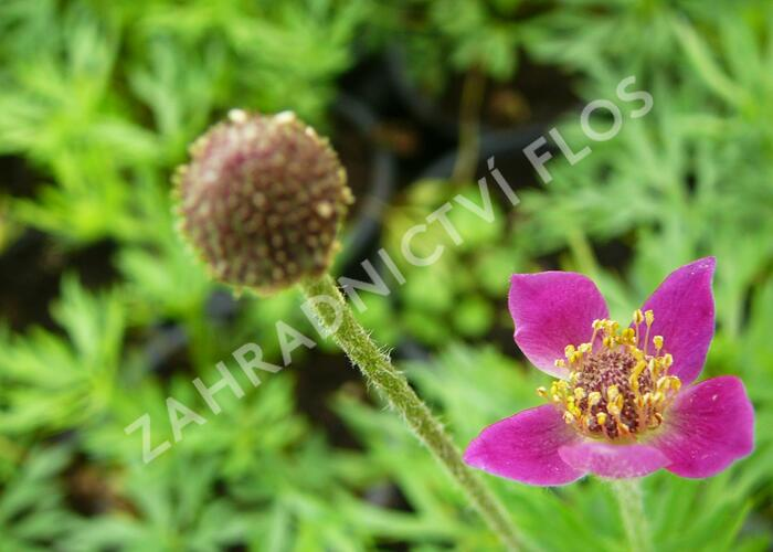 Sasanka 'Annabella Deep Rose' - Anemone multifida 'Annabella Deep Rose'