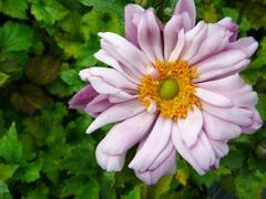 Sasanka hupehensis 'Mont Rose' - Anemone hupehensis 'Mont Rose'