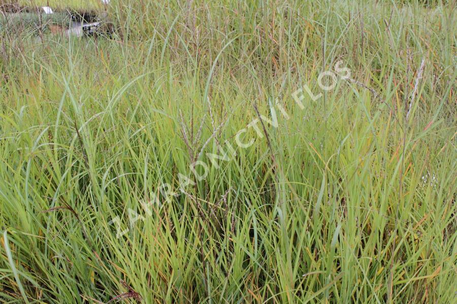 Ozdobnice čínská - Miscanthus sinensis mix