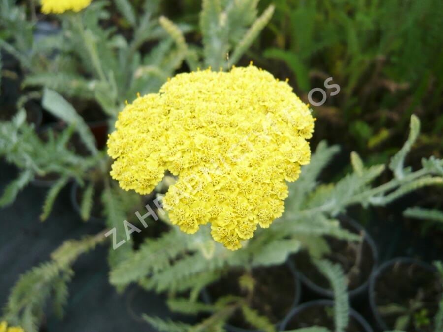 Řebříček obecný 'Moonshine' - Achillea millefolium 'Moonshine'