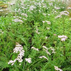 Řebříček obecný 'Lilac Beauty' - Achillea millefolium 'Lilac Beauty'