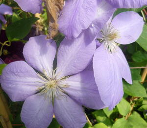 Plamének 'Mrs. Cholmondeley' - Clematis 'Mrs. Cholmondeley'