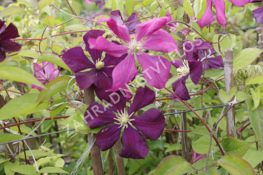 Plamének vlašský 'Etoile Violet' - Clematis viticella 'Etoile Violet'